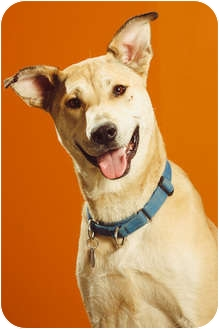 Husky/Labrador Retriever Mix Dog for adoption in Portland, Oregon - Tripp