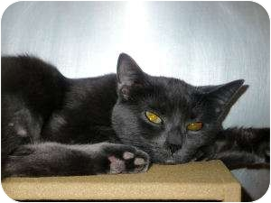 Russian Blue Cat for adoption in Colmar, Pennsylvania - Meow-Meow