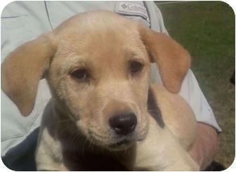 Labrador Retriever Mix Puppy for adoption in Wilmington, Delaware - Happy