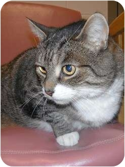 Domestic Shorthair Cat for adoption in Jackson, Michigan - Oliver