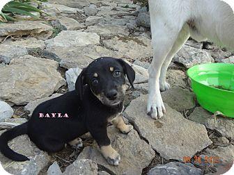 Springer Spaniel/Border Collie Mix Puppy for adoption in Lexington, Kentucky - Bayla