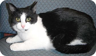 Domestic Shorthair Kitten for adoption in Jackson, Michigan - Patty