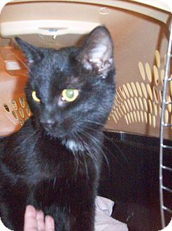Domestic Shorthair Cat for adoption in Walnut, Iowa - Nike