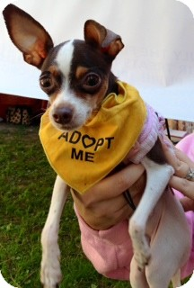 Chihuahua Mix Dog for adoption in San Diego, California - Sadie