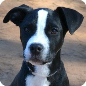 Pit Bull Terrier Mix Puppy for adoption in Athens, Georgia - Bosco