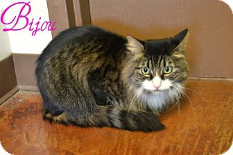 Maine Coon Cat for adoption in Laplace, Louisiana - Bijou