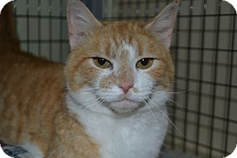 Domestic Shorthair Cat for adoption in Edwardsville, Illinois - Daisy