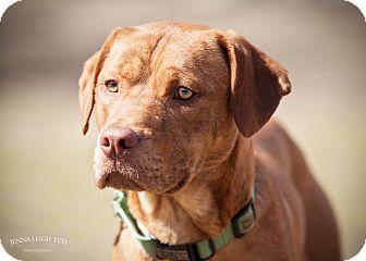 Hound (Unknown Type)/Vizsla Mix Puppy for adoption in Jersey City, New Jersey - Jim Halpert