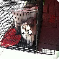 Adopt A Pet :: Shadow - North Hollywood, CA