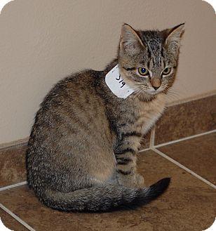 Domestic Shorthair Kitten for adoption in Cumming, Georgia - Tigger