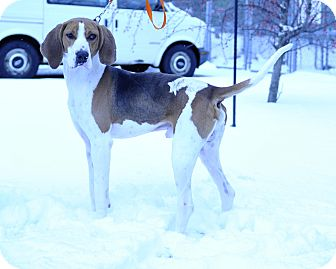 Treeing Walker Coonhound Mix Dog for adoption in South Haven, Michigan - Walker