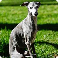 Adopt A Pet :: Stella - SD - Costa Mesa, CA