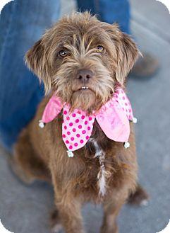 Irish Terrier Mix Dog for adoption in Denver, Colorado - Sue