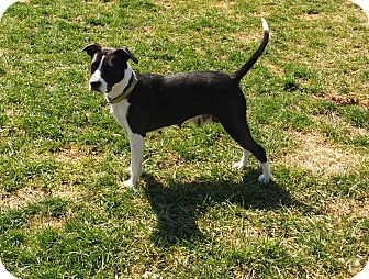Border Collie/Boston Terrier Mix Dog for adoption in Woodbridge, Virginia - Alice