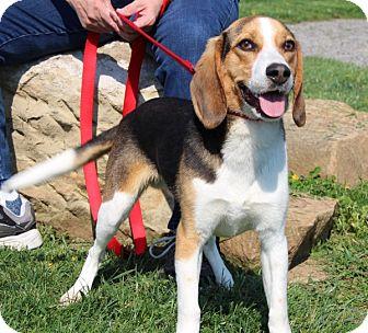 Beagle Mix Dog for adoption in Elyria, Ohio - Sammy