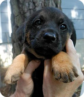 Dachshund/Labrador Retriever Mix Puppy for adoption in Decatur, Georgia - Shortiest