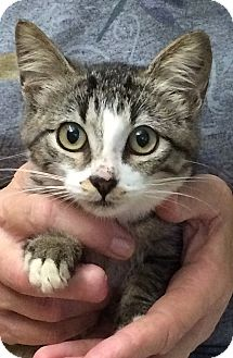 Domestic Shorthair Kitten for adoption in Tampa, Florida - Ronnie Firestone