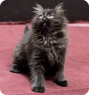 Domestic Longhair Kitten for adoption in Chicago, Illinois - Hocus