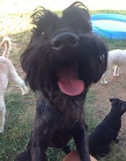 Standard Schnauzer Mix Dog for adoption in Maricopa, Arizona - Maxwell