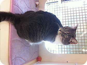 Domestic Shorthair Cat for adoption in Riverside, California - Bailey