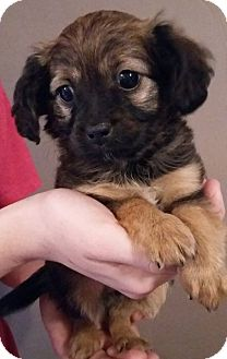 Yorkie, Yorkshire Terrier/Terrier (Unknown Type, Small) Mix Puppy for adoption in Kittery, Maine - Reese