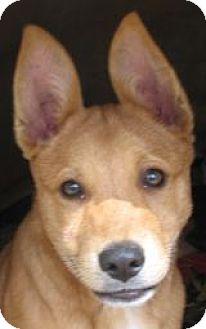 Labrador Retriever/Australian Cattle Dog Mix Dog for adoption in Grand Saline, Texas - TexAnna