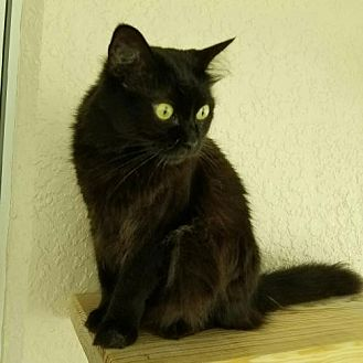 Domestic Mediumhair Cat for adoption in St. Cloud, Florida - Seven