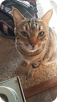 Domestic Shorthair Cat for adoption in Anchorage, Alaska - George