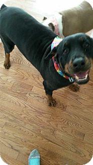Rottweiler Dog for adoption in Rexford, New York - Delilah- Courtesy Post