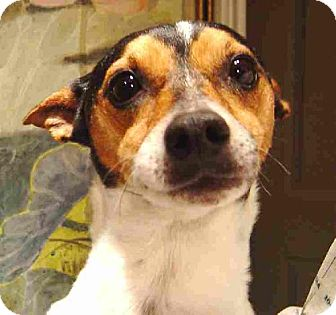 Rat Terrier Dog for adoption in Texarkana, Texas - Jake ADOPTED AR