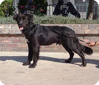 Border Collie/Labrador Retriever Mix Dog for adoption in Lathrop, California - Sparrow