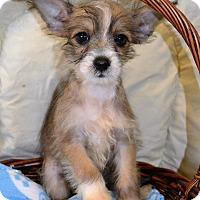 Adopt A Pet :: *Rupert - PENDING - Westport, CT