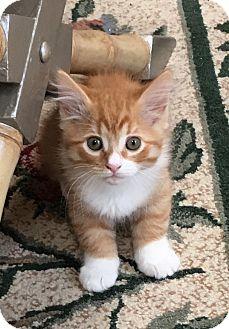 Maine Coon Kitten for adoption in Pasadena, California - Eiko