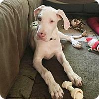 Adopt A Pet :: Angel - Stevens Point, WI