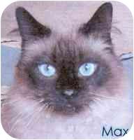 Himalayan Cat for adoption in cincinnati, Ohio - Max