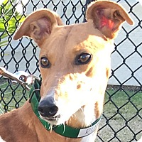 Adopt A Pet :: Rubi Smoken Hot - Longwood, FL