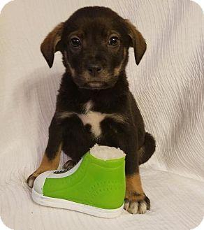 German Shepherd Dog/Labrador Retriever Mix Puppy for adoption in Newark, Delaware - Zeke