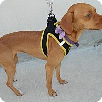 Adopt A Pet :: Peanut/Patty - Umatilla, FL