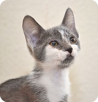 Domestic Shorthair Kitten for adoption in Davis, California - Puzzle