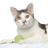 Domestic Shorthair/Domestic Shorthair Mix Cat for adoption in Los Angeles, California - Sully