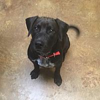 Adopt A Pet :: Remmy - Austin, TX