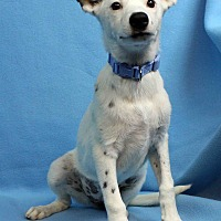 Adopt A Pet :: Freckles - Westminster, CO