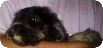 Poodle (Miniature)/Sheltie, Shetland Sheepdog Mix Puppy for adoption in Mt. Lebanon, Pennsylvania - The Girls