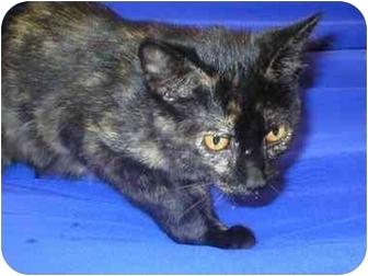 Domestic Shorthair Kitten for adoption in Little Falls, Minnesota - Anna May
