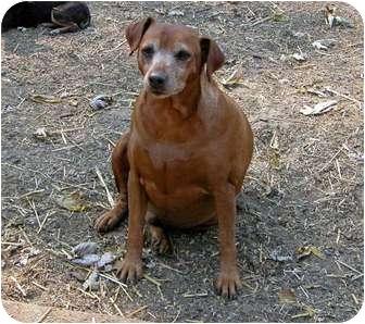 Miniature Pinscher Mix Dog for adoption in Clarksville, Tennessee - Rambo-Senior