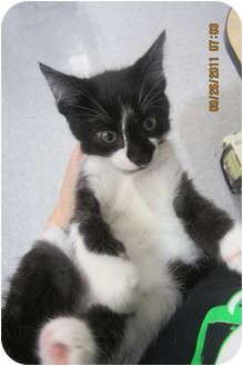 Domestic Shorthair Kitten for adoption in Sterling Hgts, Michigan - Teddie