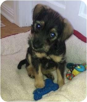 Schnauzer (Miniature) Mix Puppy for adoption in Bristol, Virginia - Maggie