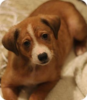 Labrador Retriever/Border Collie Mix Puppy for adoption in Saint Louis, Missouri - Bev