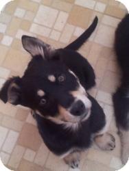 Shepherd (Unknown Type)/Retriever (Unknown Type) Mix Puppy for adoption in Saskatoon, Saskatchewan - Clyde