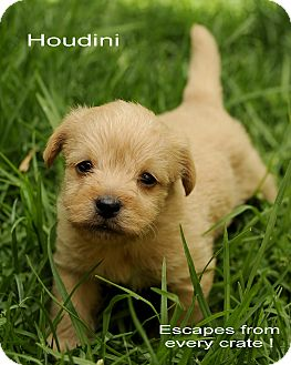 Poodle (Miniature) Mix Puppy for adoption in Encino, California - Houdini